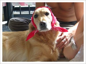 Golden with red bandana